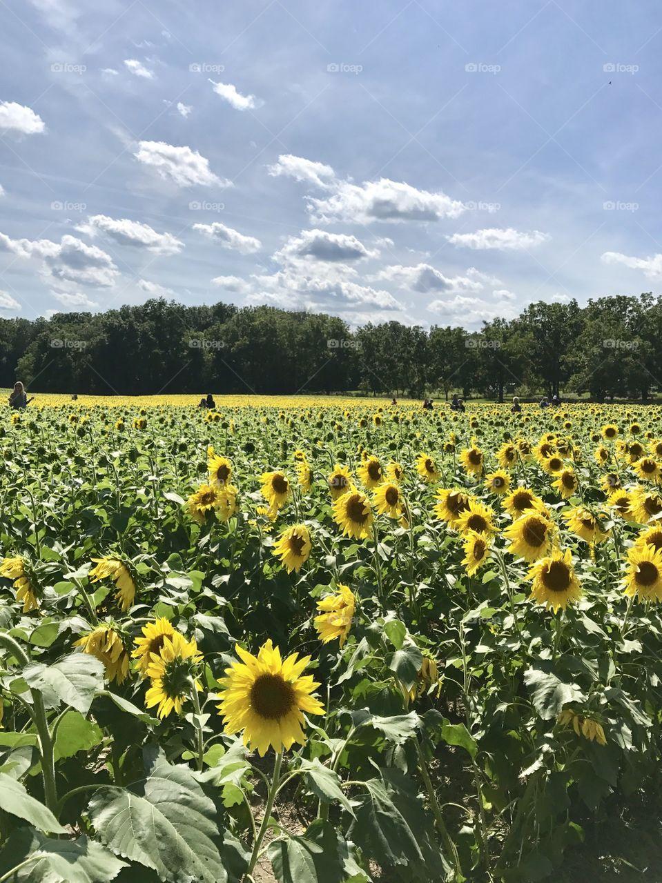 Tecumsah Land Trust in yellow springs Ohio  2017 sunflower field in full bloom 🌻