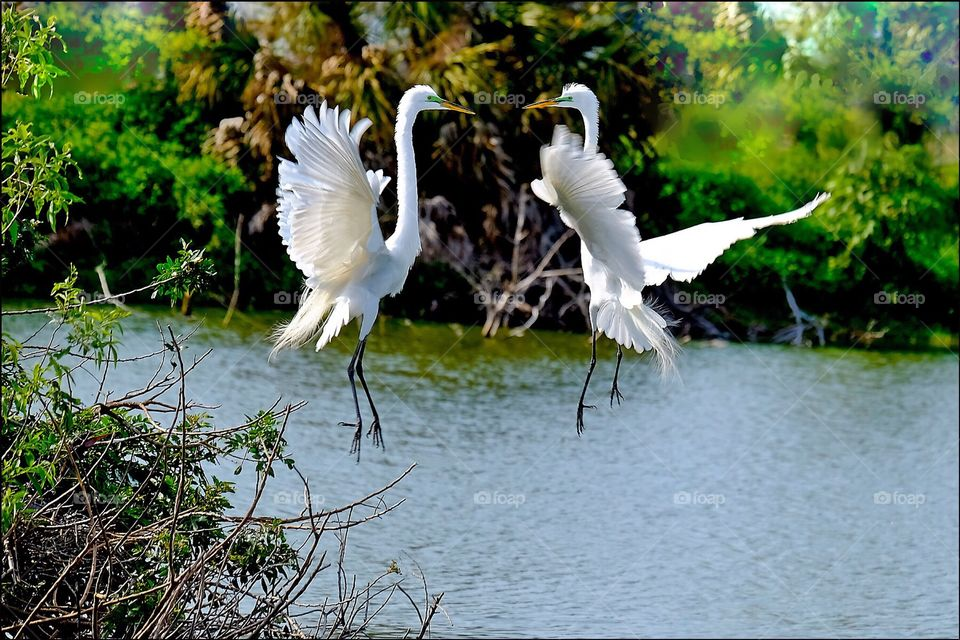 An elegant pair of Great white egrets engaged in a beautiful mating dance.