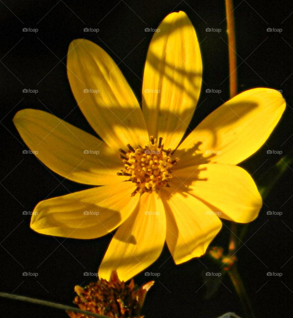 Give Me Light - A Swamp Daisy flower head shows a shadow from the radiating sunrise