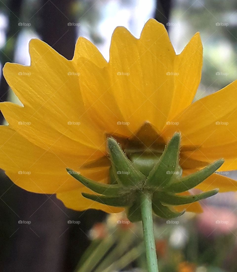 Yellow flower is captured from back