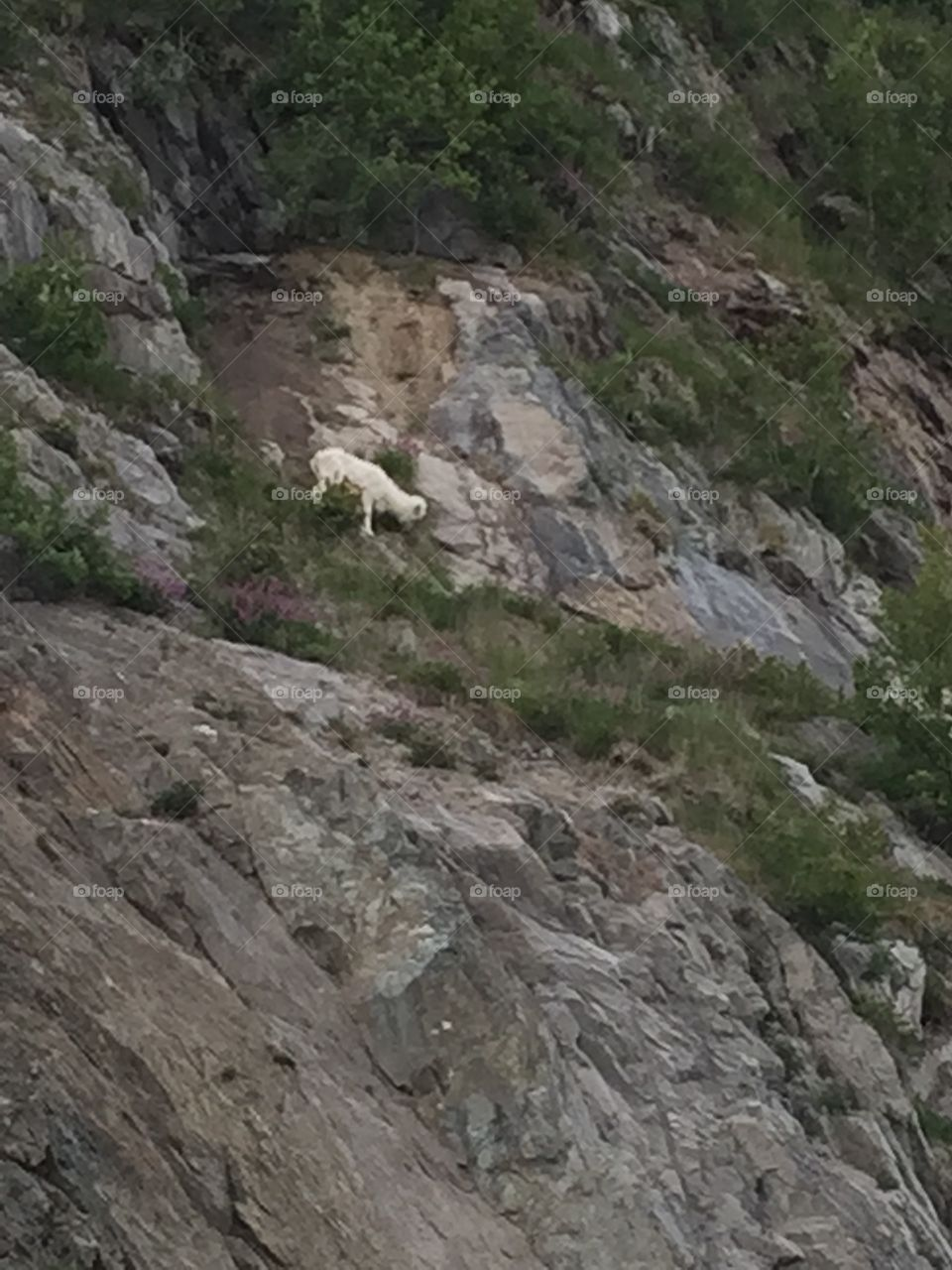 Sheep. This guy is eating on the Turnagain Arm outside Anchorage Alaska