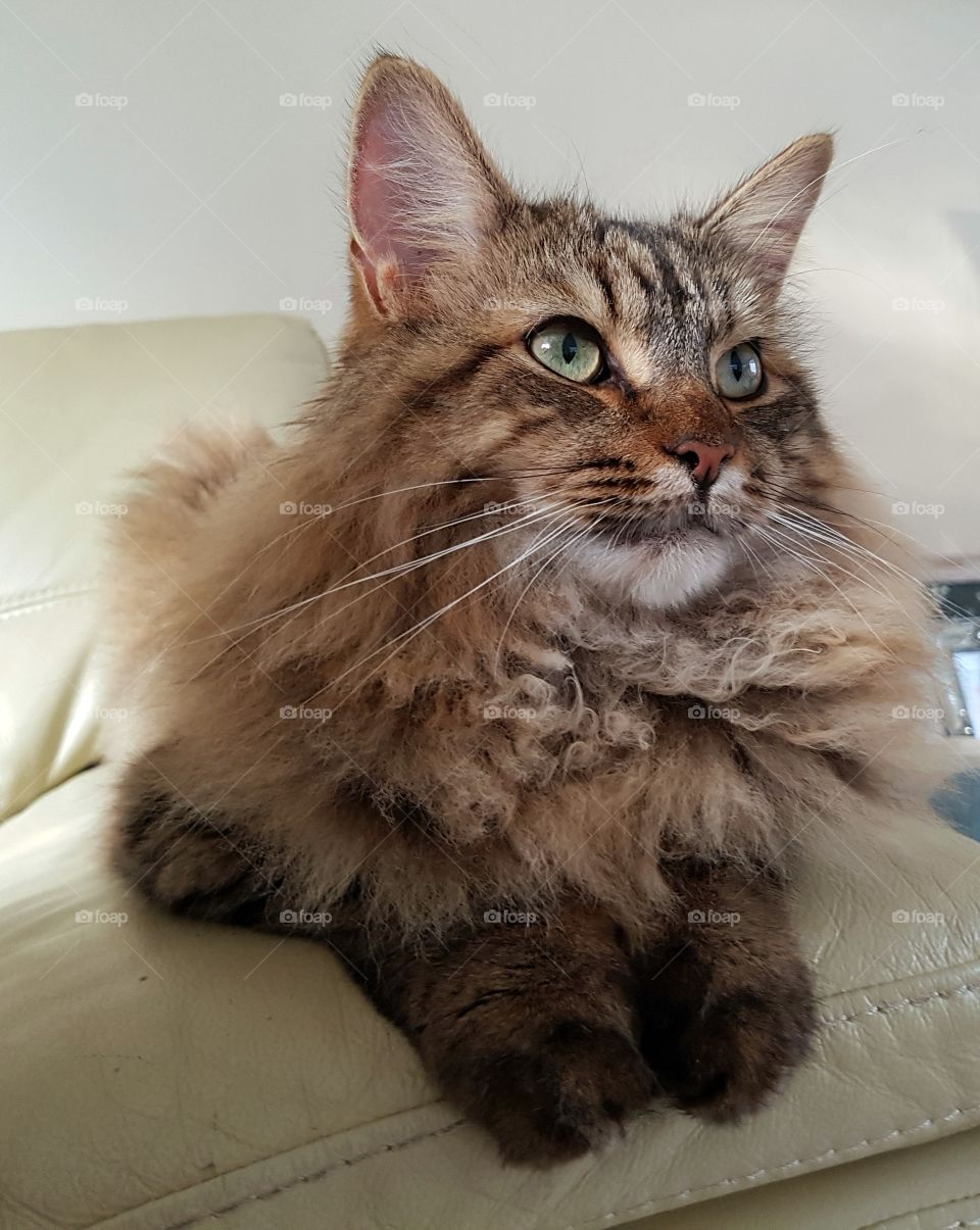 fluffy longhaired cat.