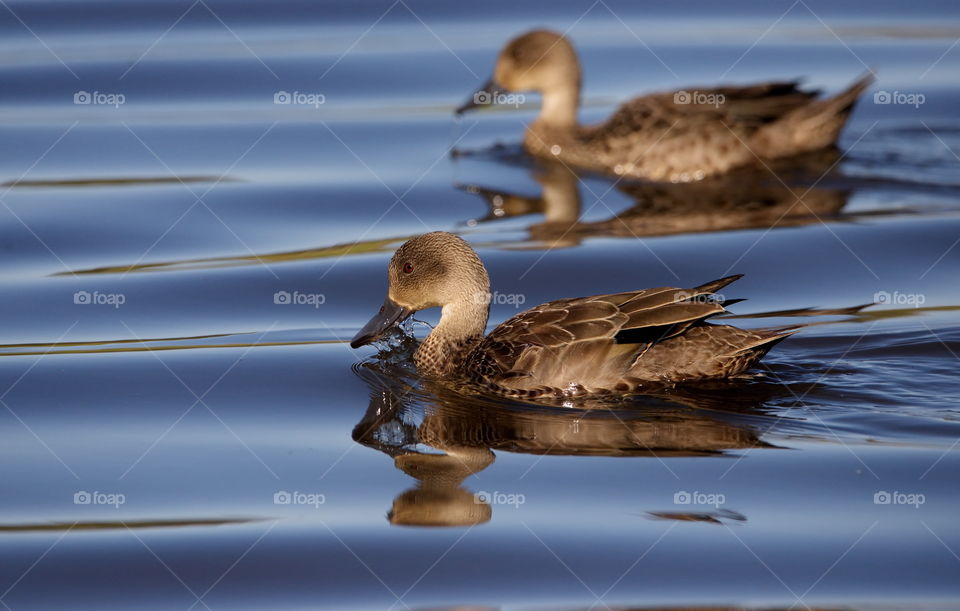 Grey Teal Ducks swimming on a po