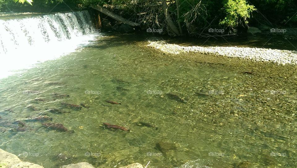 king salmon. King salmon in anchorage