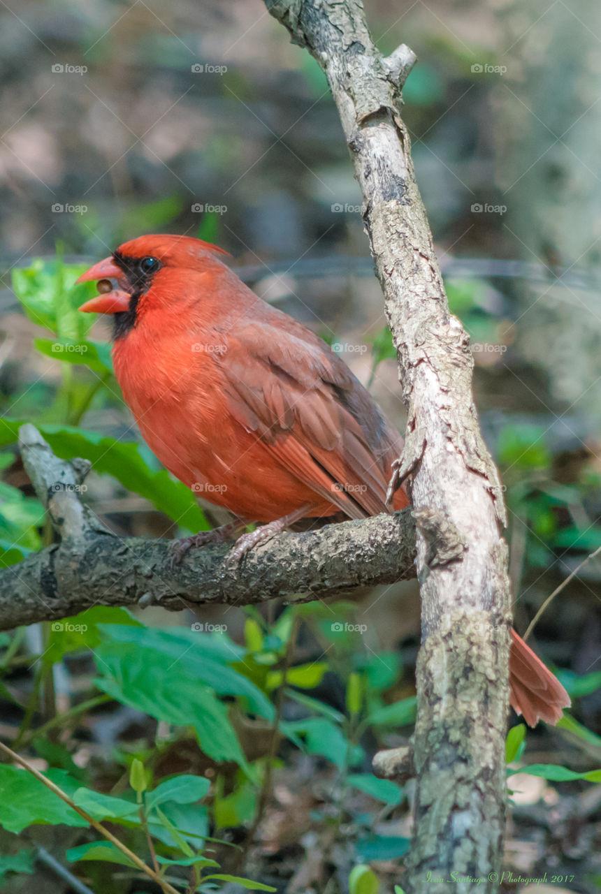Northern Cardinal Bird eating a seed
