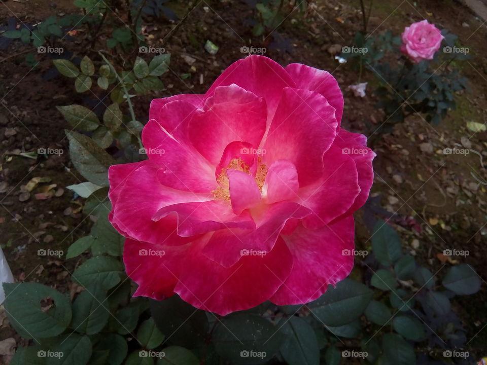 flower 2018-01-22 041  #আমার_চোখে #আমার_গ্রাম #nature #flower  #eukaryota #plantae #angiosperms #eudicots
