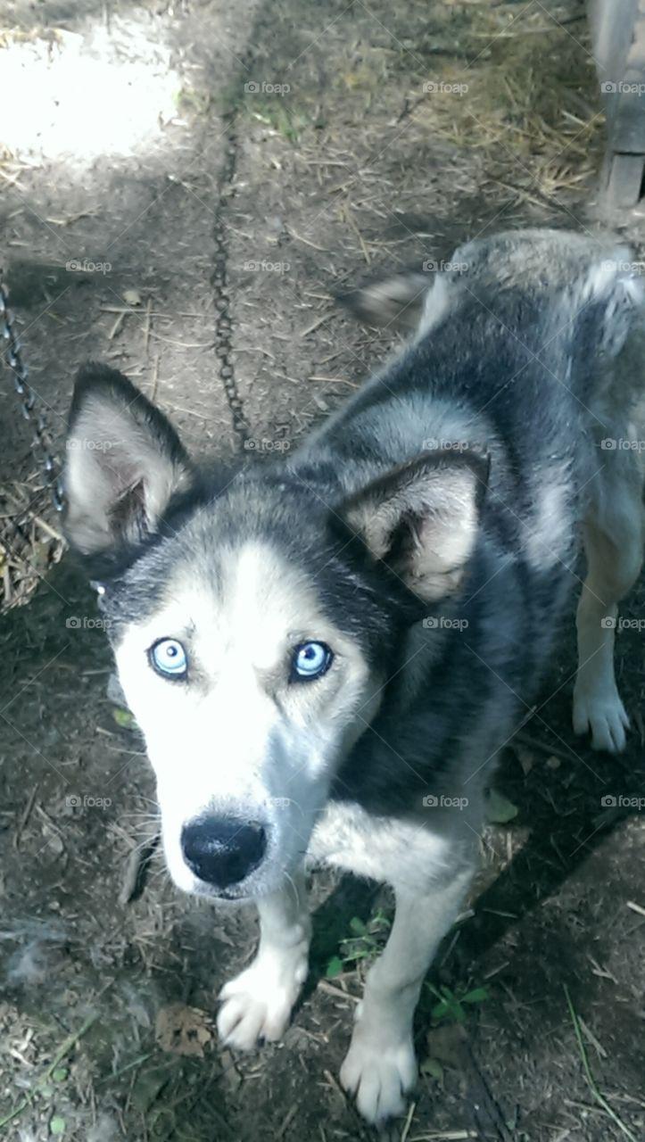 Eddie. Eddie is a retired sled dog in Alaska!