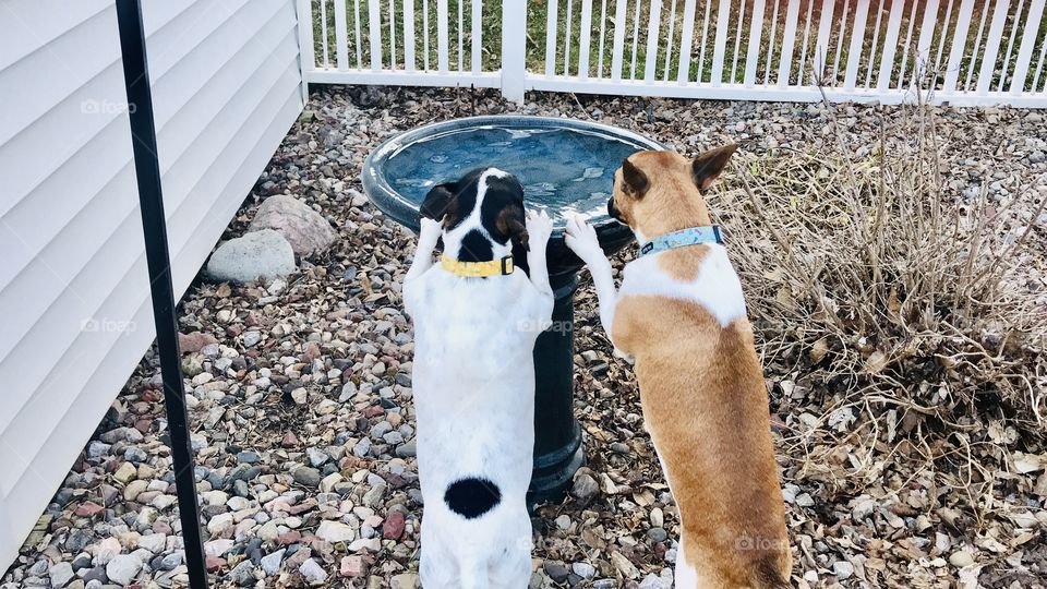 Adorable white with black spotted dog and brown and white dog perched up drinking out of birdbath in garden area.
