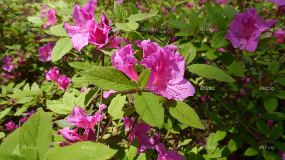 Bright Pink Azalea in Sunlight