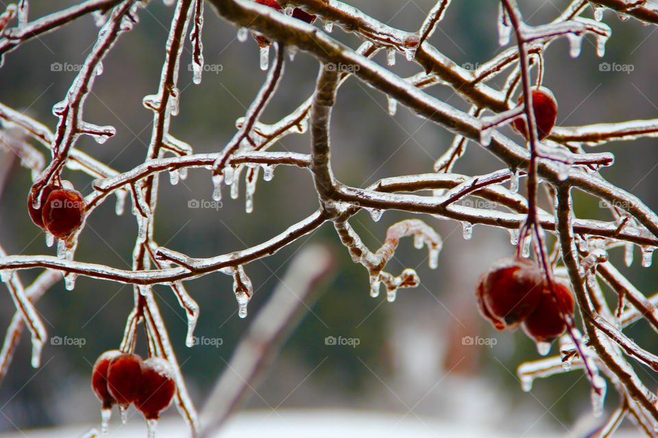 Frozen berries on branches