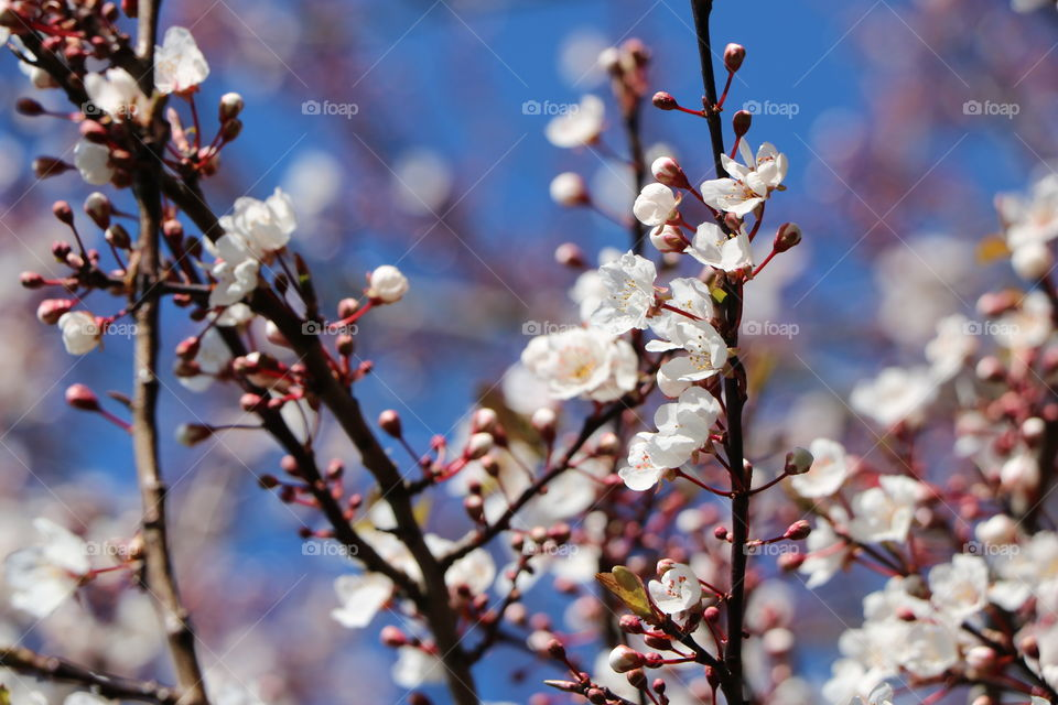 Buds and blossoms on a cherry tree  spreading freshness  all around on a a cold but sunny winter day