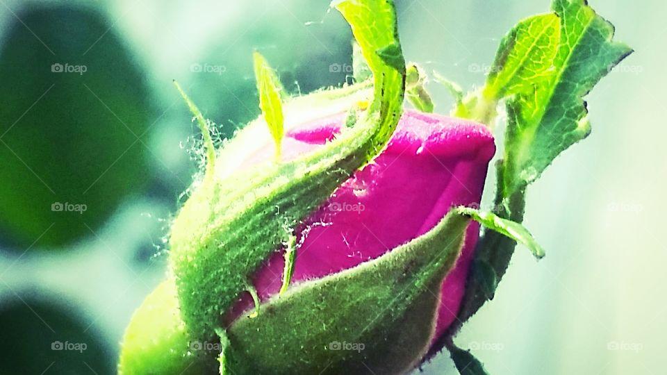 Closeup of pink flower bud
