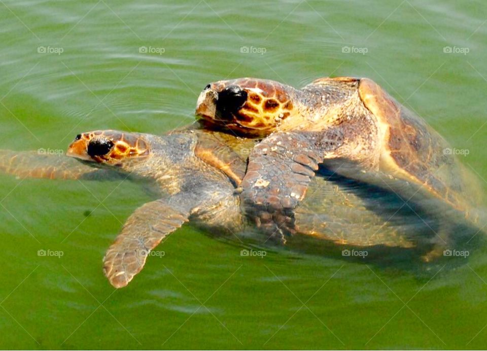 Two sea turtles 🐢