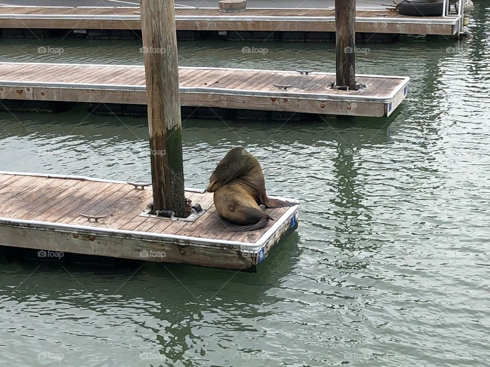 Lonely sea lion on the pier of San Francisco