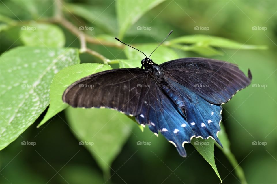 blue and black butterfly on Greenleaf June 7th 2017