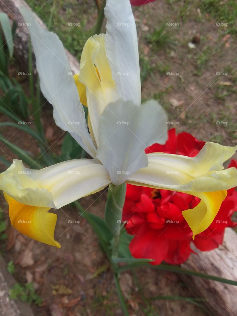 Up close look at a Such Iris 'Apollo' and a Peony flowered Tulip in the background.