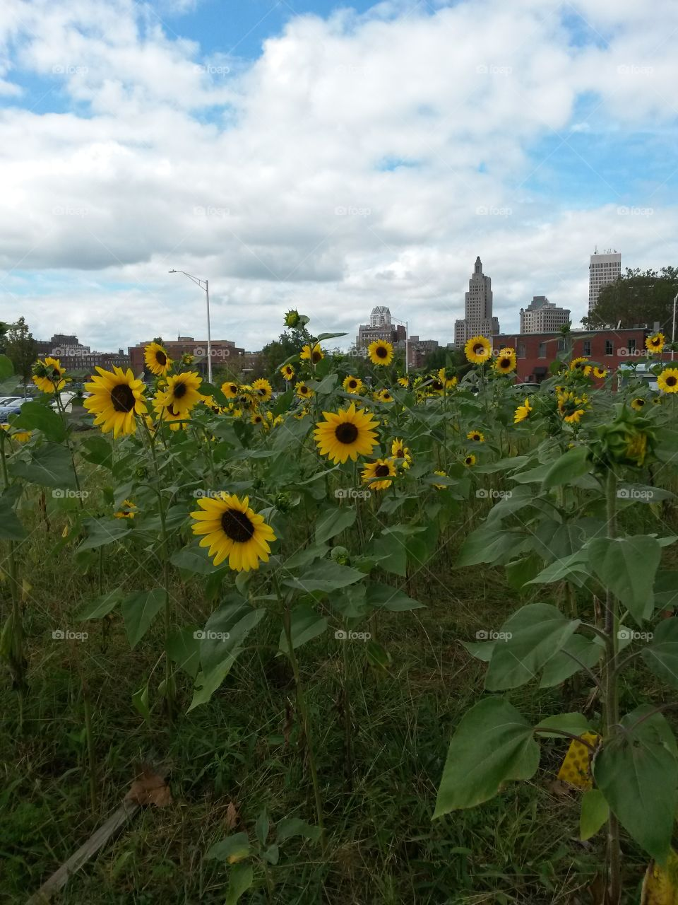 city sunflowers