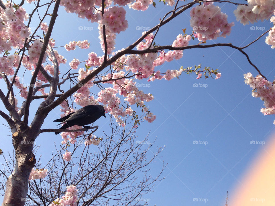 Crow in cherry blossom tree