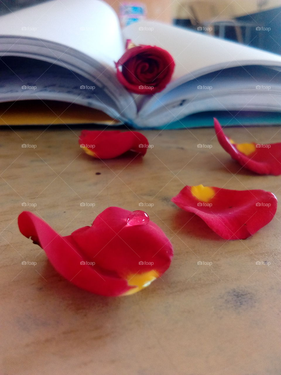 Rose between book pages