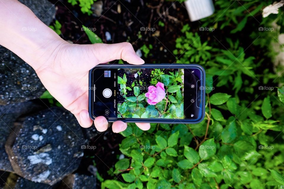 Photographing A Rose Through The iPhone X, iPhone Photography, Portrait Mode, Roses In The Yard, Rose Bush In The Garden