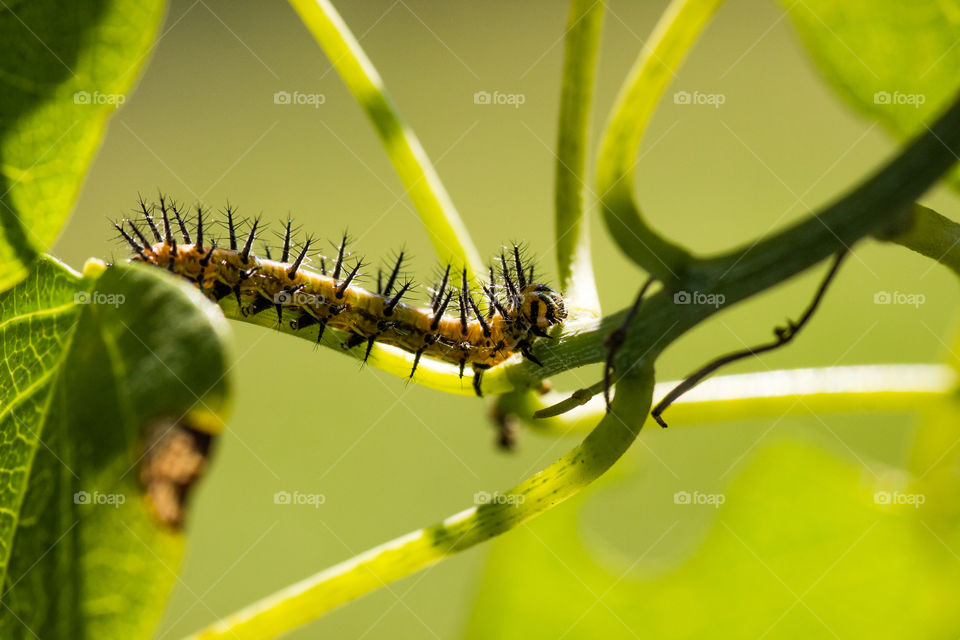spiky haired caterpillar on a stem of a leaf