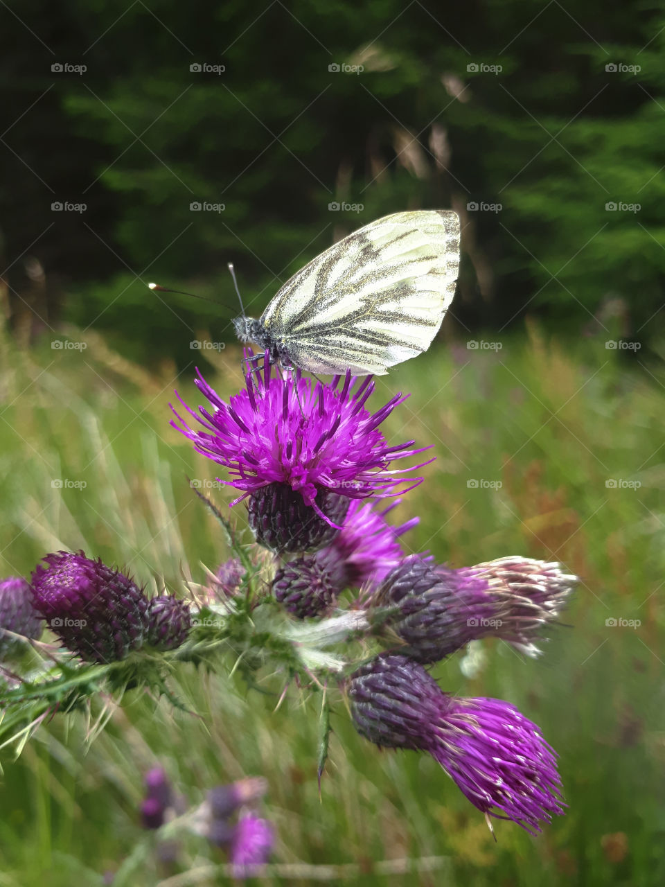 Cabbage White on Thistle