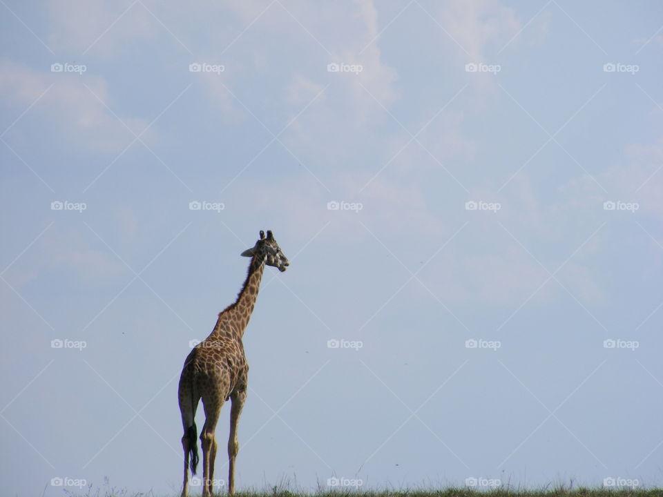 Giraffe Walking Out In The Open, Giraffe Standing Tall In The Sky, Giraffe Portrait, Wildlife Photography