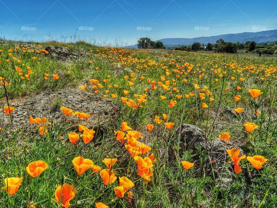 California Wild Poppy Field