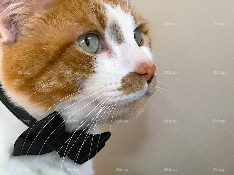 Cat with bow tie and copy space