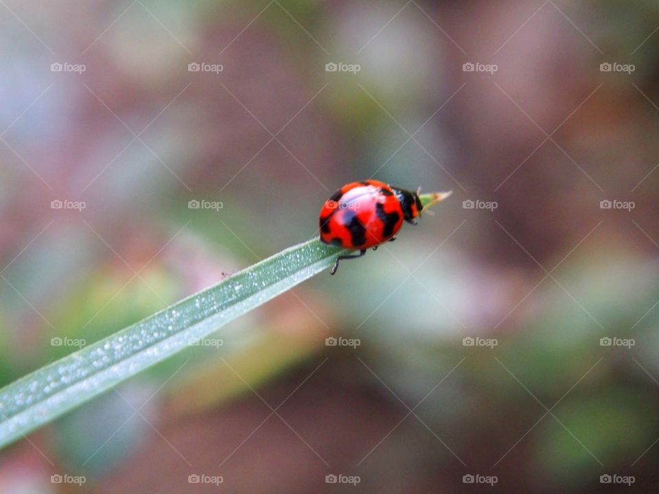 Ladybug on the end of a grass