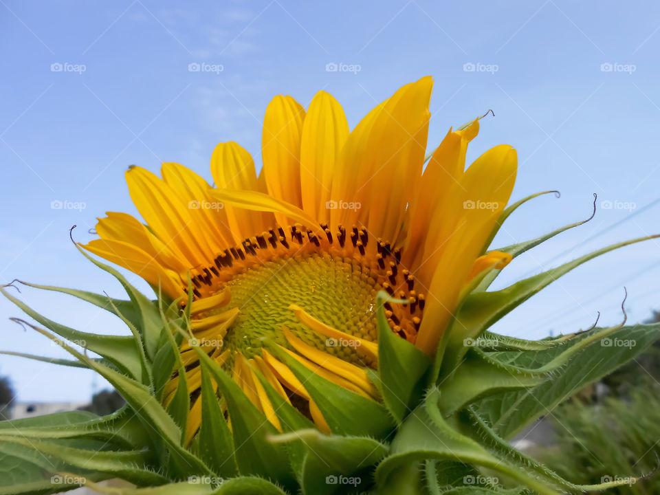 Sunflower Petals Opening