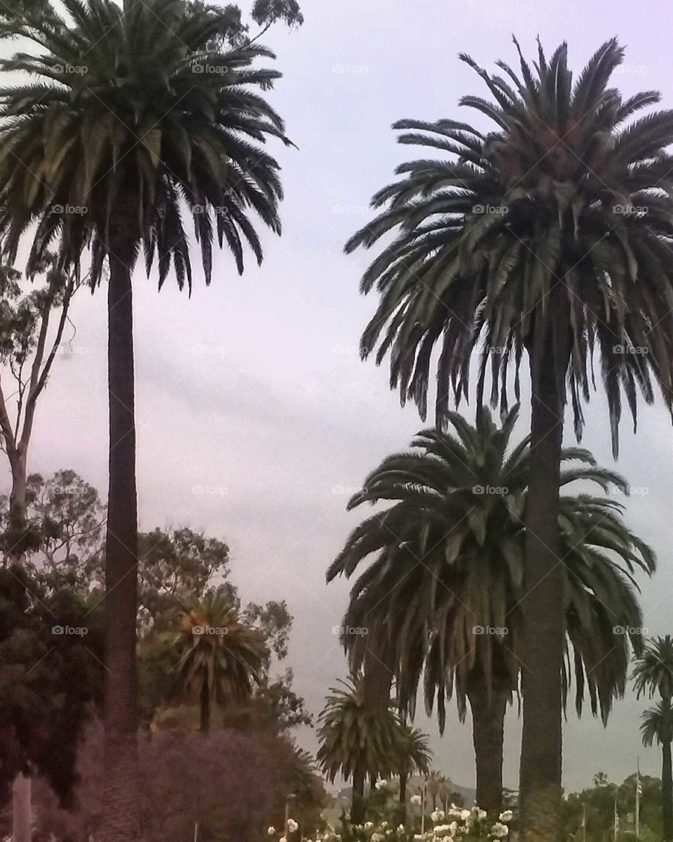 Various Palm Trees on an Overcast Day