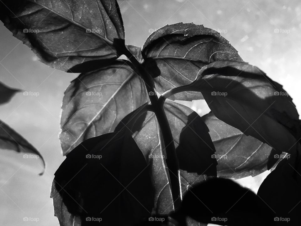 Back lit plant in black and white