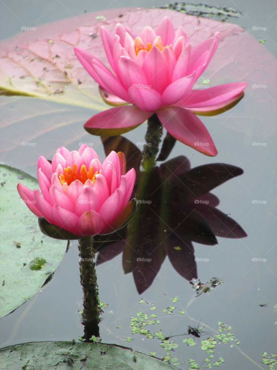 Water lily growing in pond