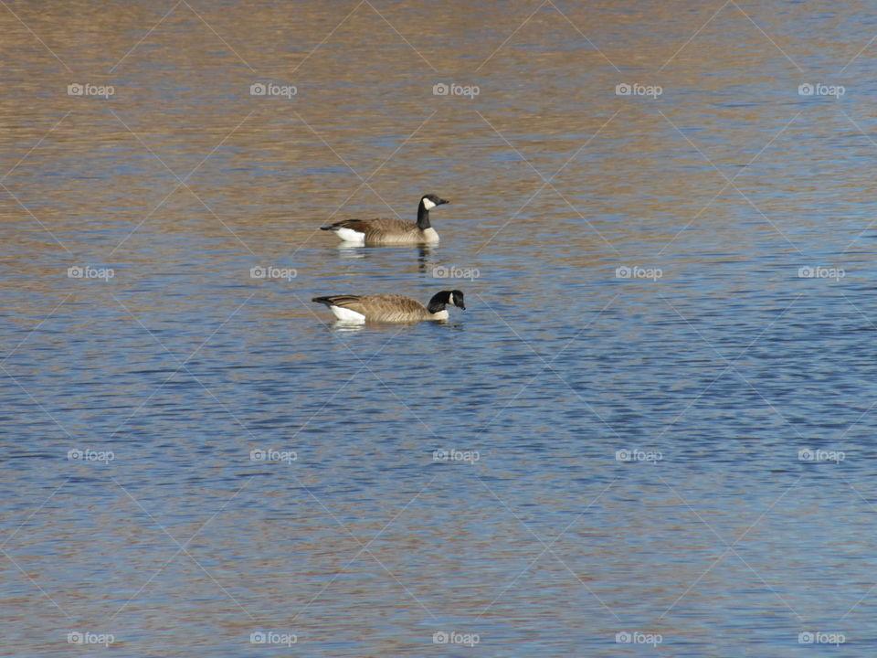 Em R Ducks