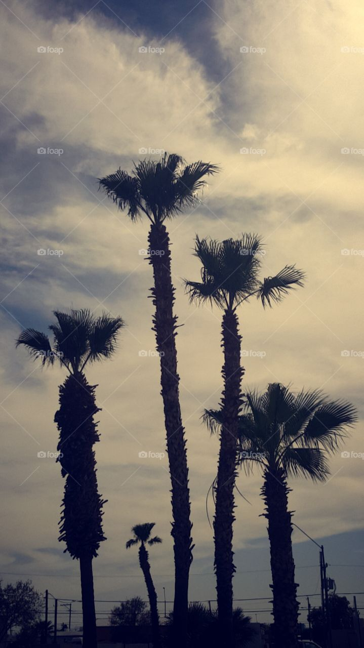 palm trees in Parker arizona