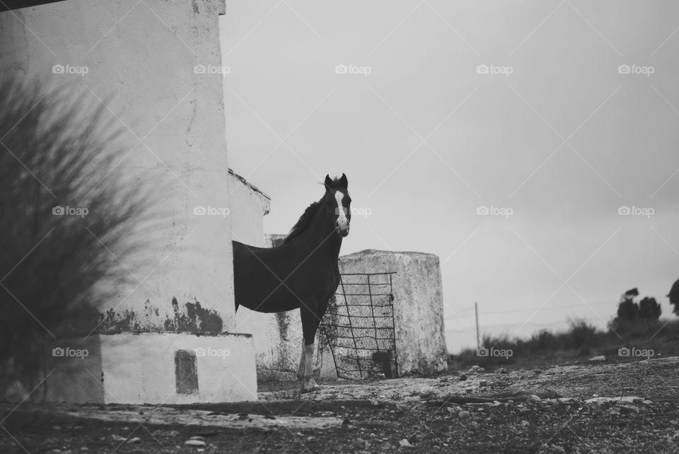 My Arabian horse