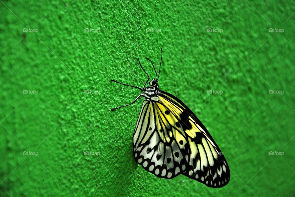 one butterfly alone in a green wall