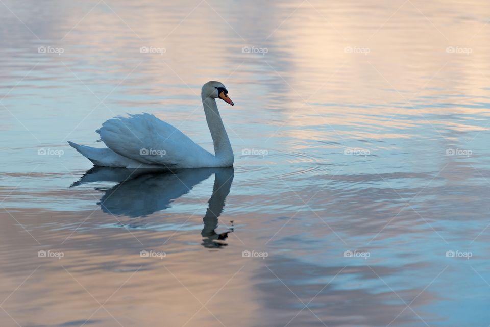 Swan on lake Mosvatnet,Stavanger,Norway . A swan floating on a calm lake in Stavanger, Norway