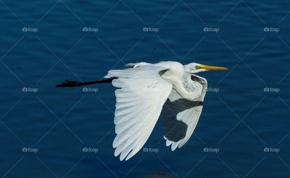 Egret in flight at a wetlands