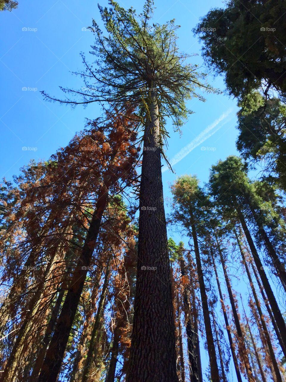 Giant sequoia,Yosemite. Giant sequoia,Yosemite