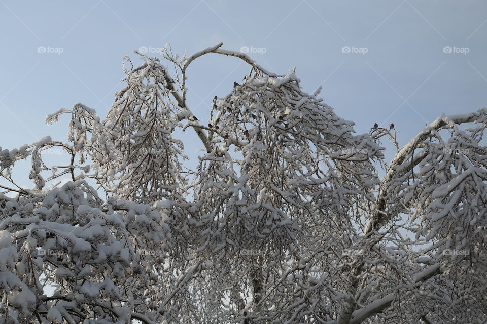 Trees covered by ice and snow, trees full of birds