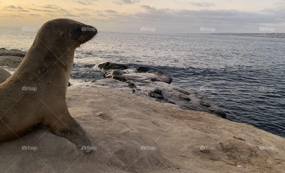 Sea lion looking enjoying dusk