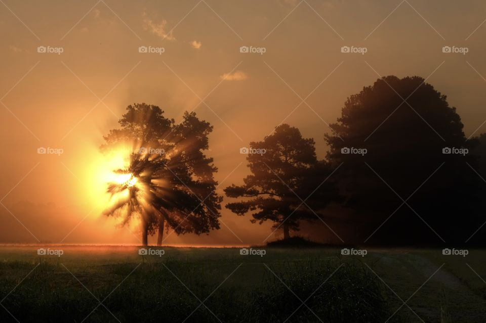 Early morning sunlight blasts through the foliage of a tree on a farm on a foggy morning. Raleigh, North Carolina.