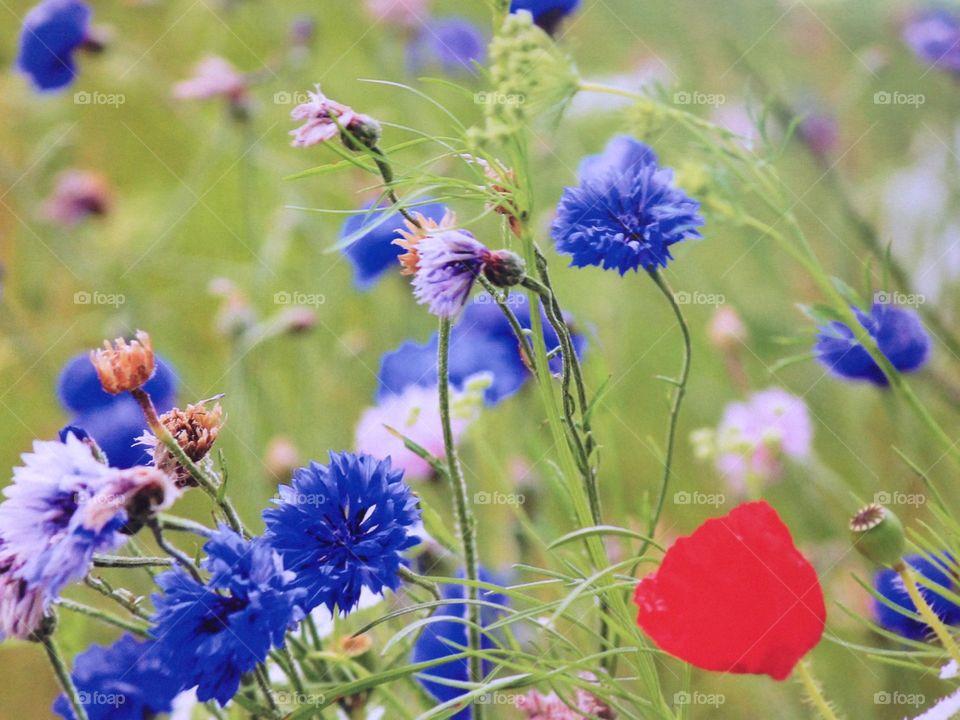 Wildflower meadow field poppy