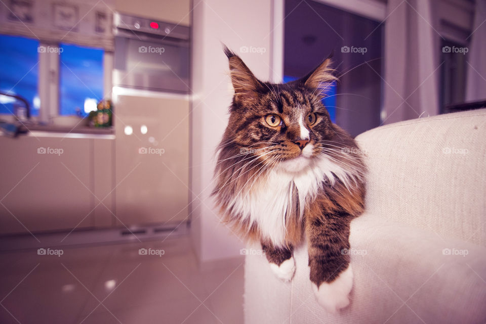 Maine Coon. New camera!! Nikon D600!! It's beyond great!
