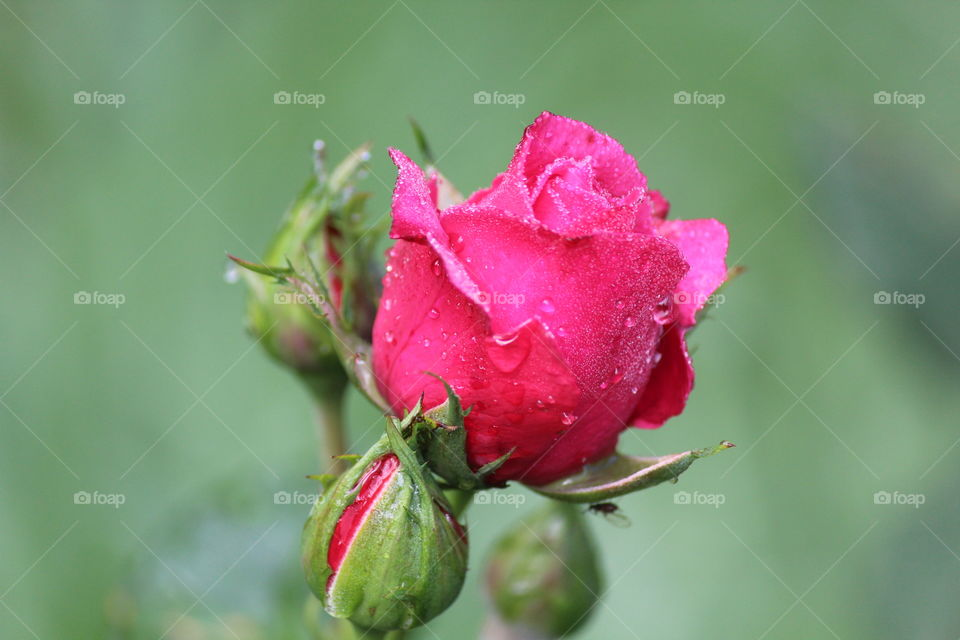 Close-up of wet rose