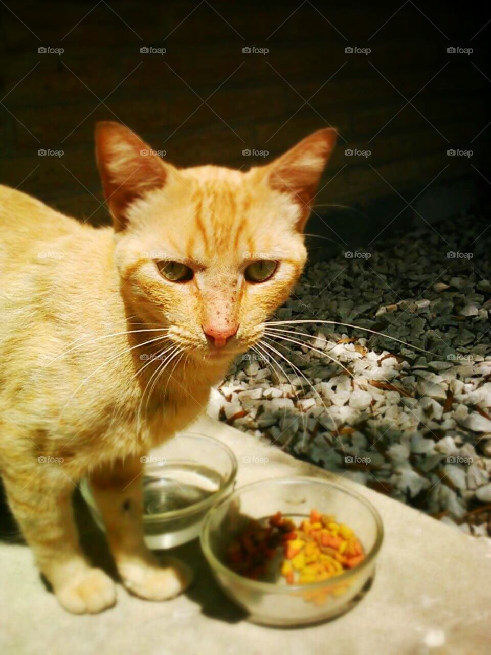 cat stray orange freckles eating catfood sunny purr