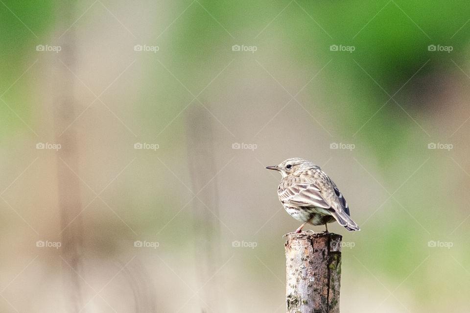 Female Robin bird. Erithacus rubecula.