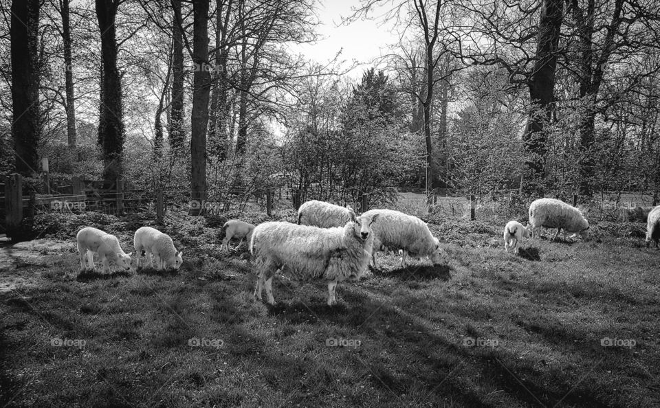family of sheep & lambs in an English field.
